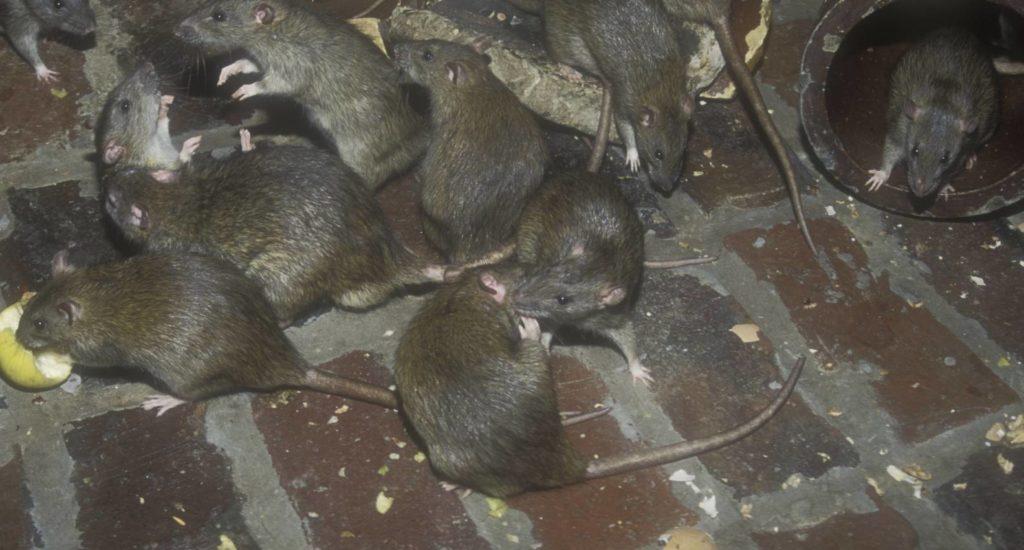 уничтожение крыс в Кингисеппе